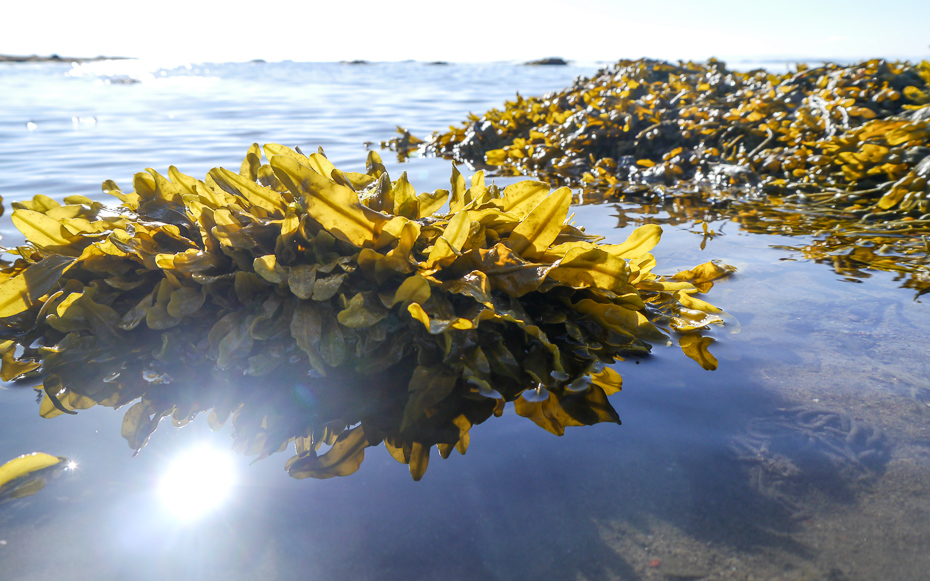 Seaweed in tidal pools, Breidafjordur, Iceland